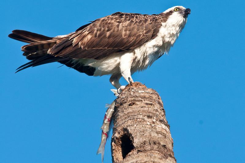 Osprey with Ladyfish meal