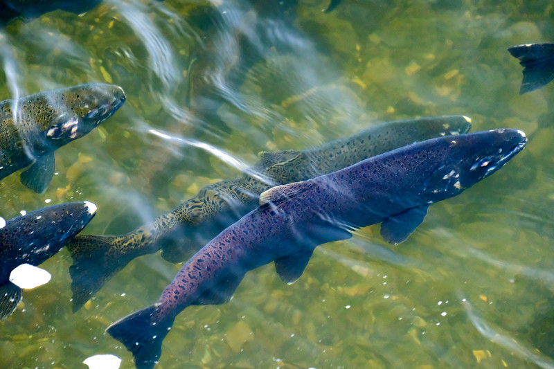 Salmon Running at Tumwater Falls in Washington