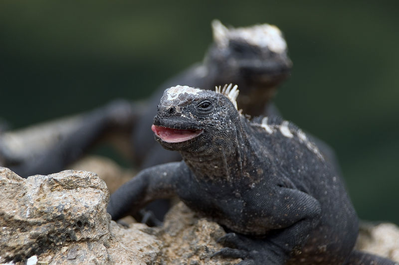 Iguana with an open mouth   (Dec 10, 2005, 01:53pm)