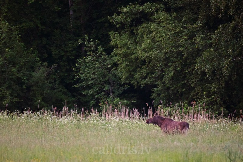 Young elk in a forest clearing