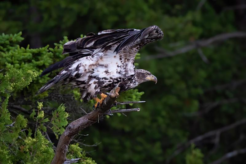 #1238 Bald Eagle