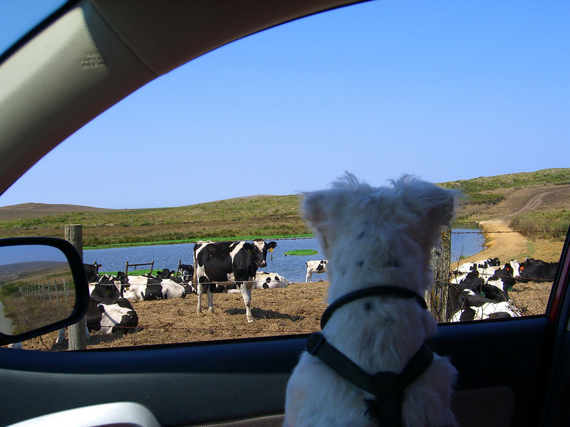 whitty and the dairy cow.jpg