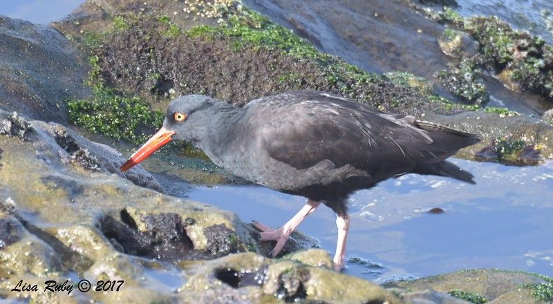 Black Oystercatcher  - 12/10/2017 - La Jolla Cove