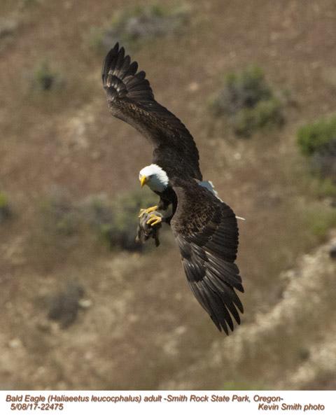 Bald Eagle A22475.jpg
