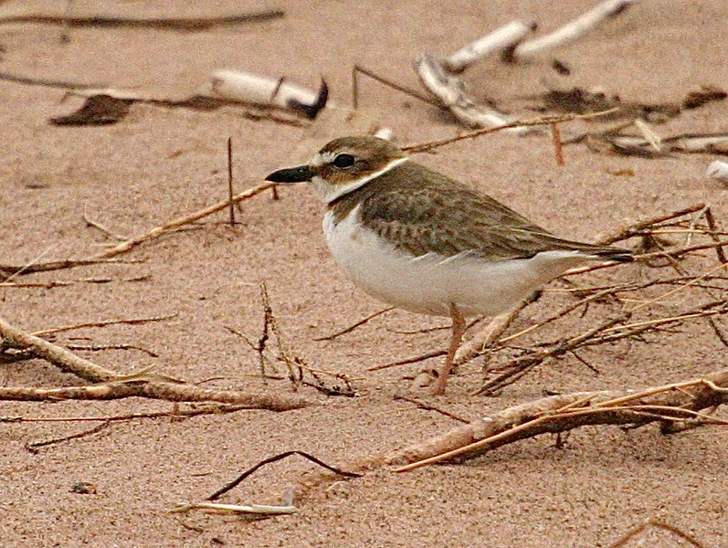"""Far from home; I found this lonely Wilson's Plover on a windy morning on Wisconsin Point. Over 1000 miles from """"home,"""" this bird turned out to be a Wisconsin first state record! [May 9th, 2004; Wisconsin Point, Superior, Wisconsin]"""
