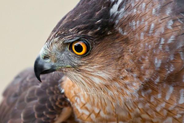 Cooper's Hawk Banding