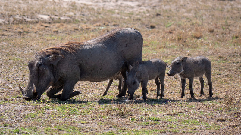 Tanzania-Serengeti-National-Park-Safari-Warthog-01.jpg