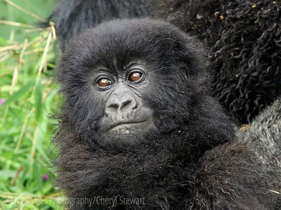 Rwanda Mountain Gorillas, trekking in the Virunga Mtns