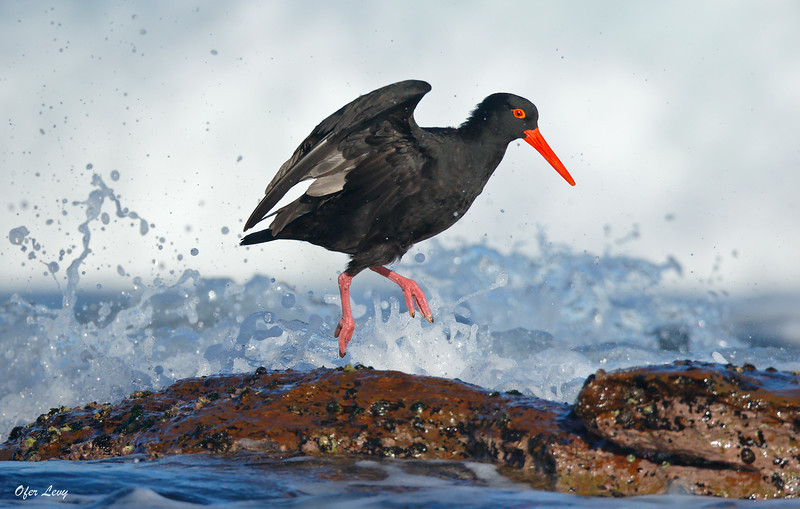 Sooty Oystercatcher feeding in surf 3 MASTER.jpg