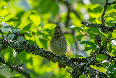Common Redstart [Phoenicurus phoenicurus]