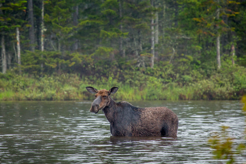 Female Moose (Alces alces),  Baxter state park, Maine, USA
