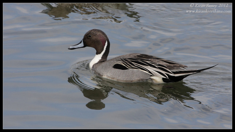 Northern Pintail Drake, Robb Field, San Diego River, San Diego County, California, February 2012