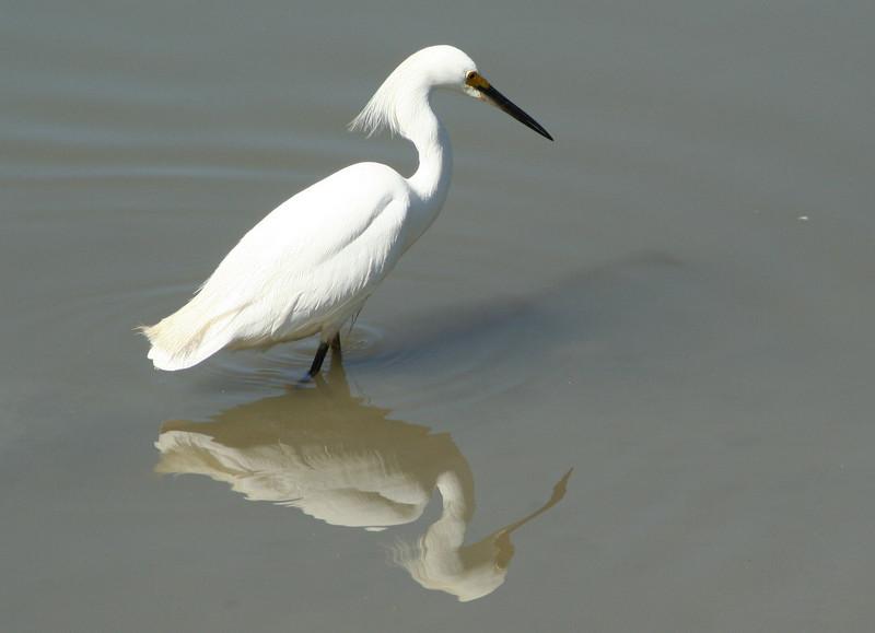 Snowy Egret Shadow & Reflection (2).JPG