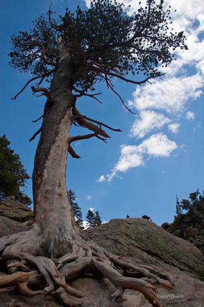 Ancient Pine
