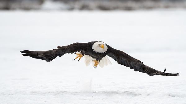 Chilkat River Eagles