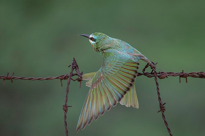 blue-cheeked bee-eaters of chhapar