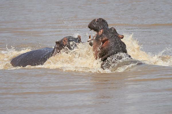 Hippo Mara Kenya 2018