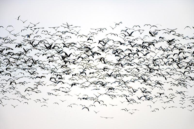 Large mixed-species foraging flock on rice fields, Isla Mayor, Seville, Spain.
