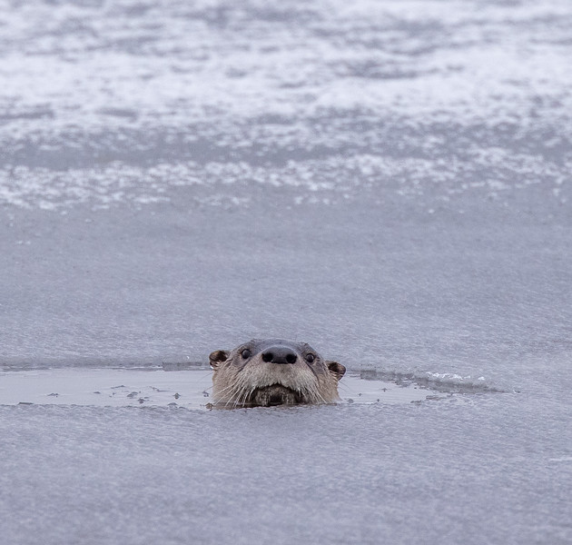 River Otter Crex Meadows Grantsburg WI  IMGC4646.jpg