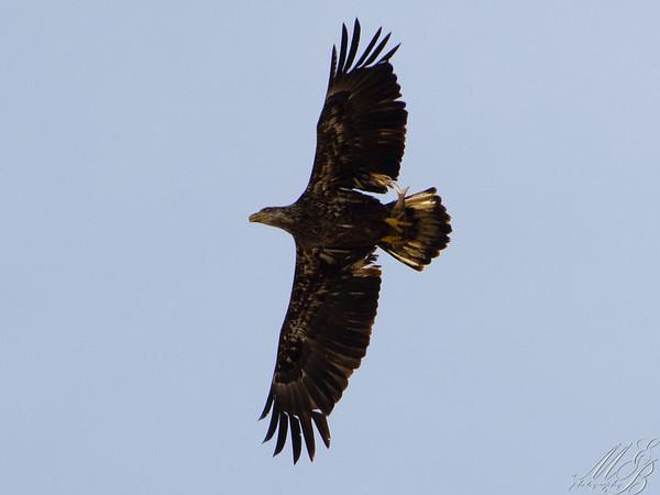 Vultures and Diurnal Raptors