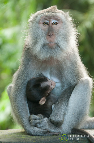 Monkey Mother and Baby - Ubud, Bali