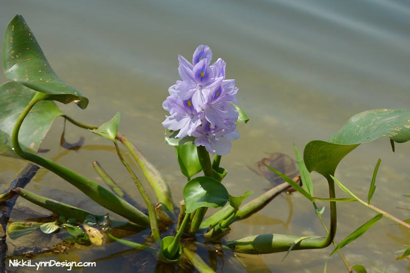 Water Hyacinth for Water Gardens