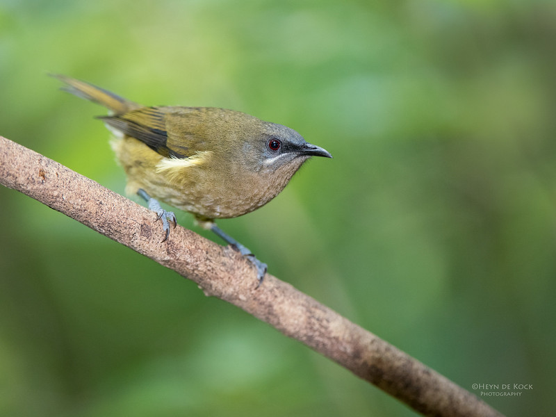 Bellbird, Tiritiri Matangi, NZ, March 2015.jpg