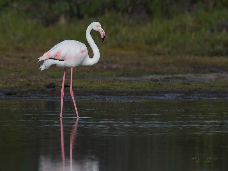 Greater Flamingo, Intaka Island, Cape Town, Sept 2016-1.jpg