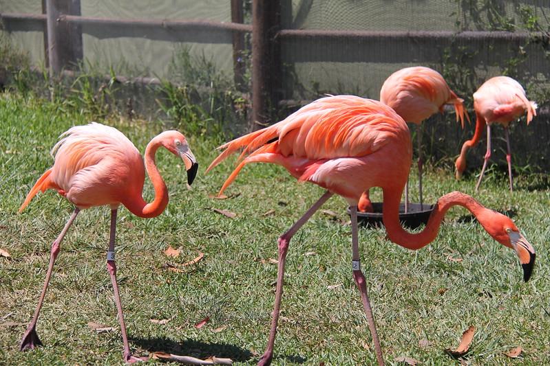 20170807-044 - San Diego Zoo - Flamingo.JPG