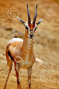Spring Buck Wildlife Photography
