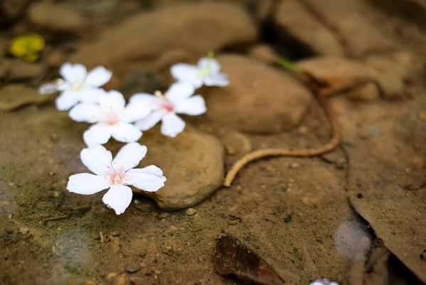 TuCheng Tung Blossom Festival (土城桐花祭)