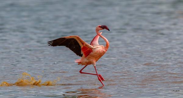 Flamingoes at Lake Bogoria