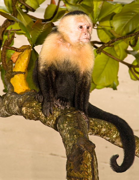 Costa Rica_Monkey-2.jpg