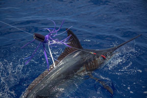 5/24/17 Fishing with Grander Marlin Sportfishing