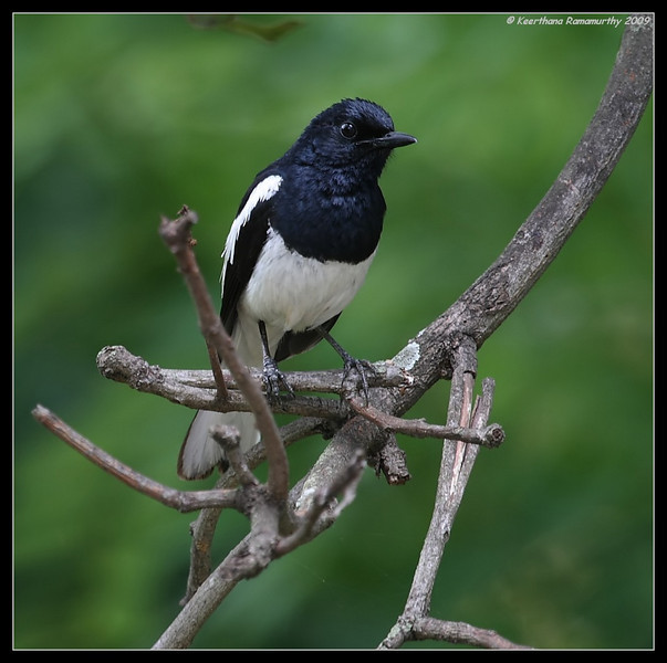 Oriental Magpie Robin, Our Garden, Amruthur, Karnataka, India, June 2009
