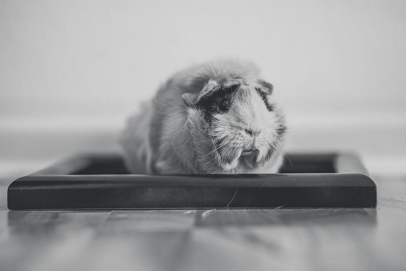 Ginea Pigs-24.jpg