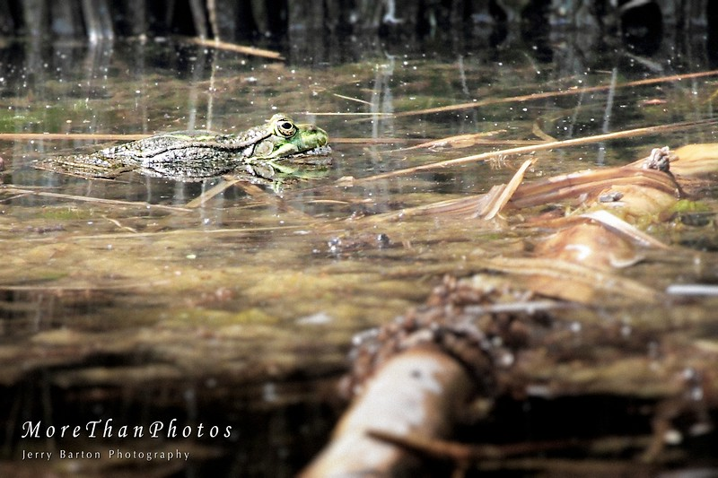Carnivorous Frog
