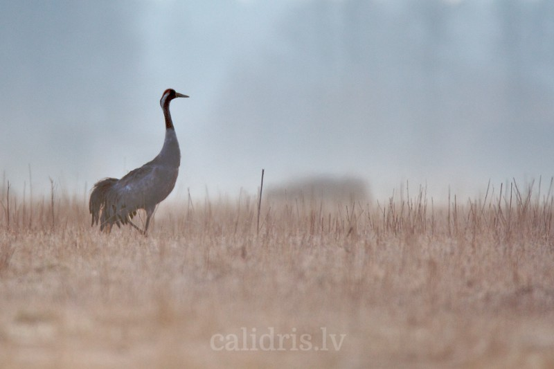 Common Crane on a field in misty morning