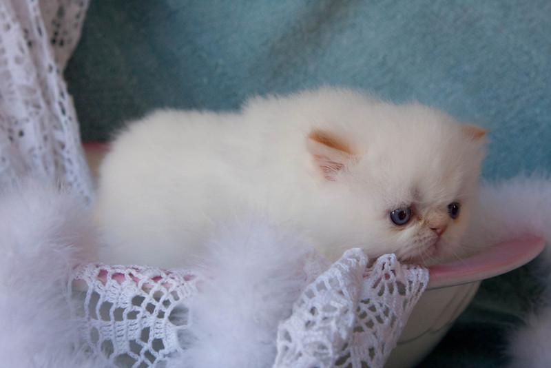 Himi_Kittens_Nov30-8005.jpg