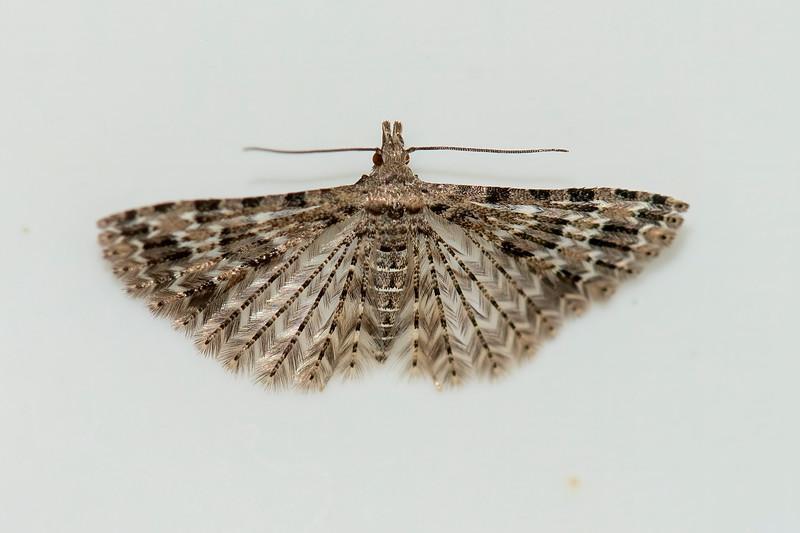 Six-plume-Montana-(Alucita montana)-Dunning Lake-Itasca County, MN