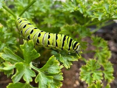 Story of Swallowtail Caterpillars