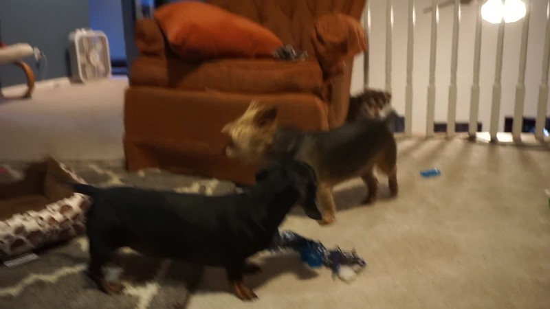 After a few hours, Fox started feeling more at home, and started playing with the other dogs, which was adorable