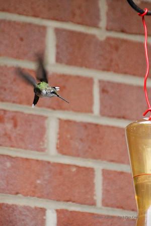 Humingbird 9/10/13