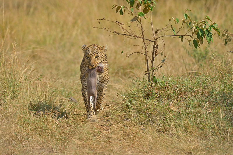 Africa leopard carrying a prey