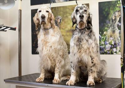 Setter-dog-grooming-UK.jpeg