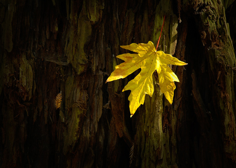 Sanborn Park Yellow Leaf 7X5-8.jpg
