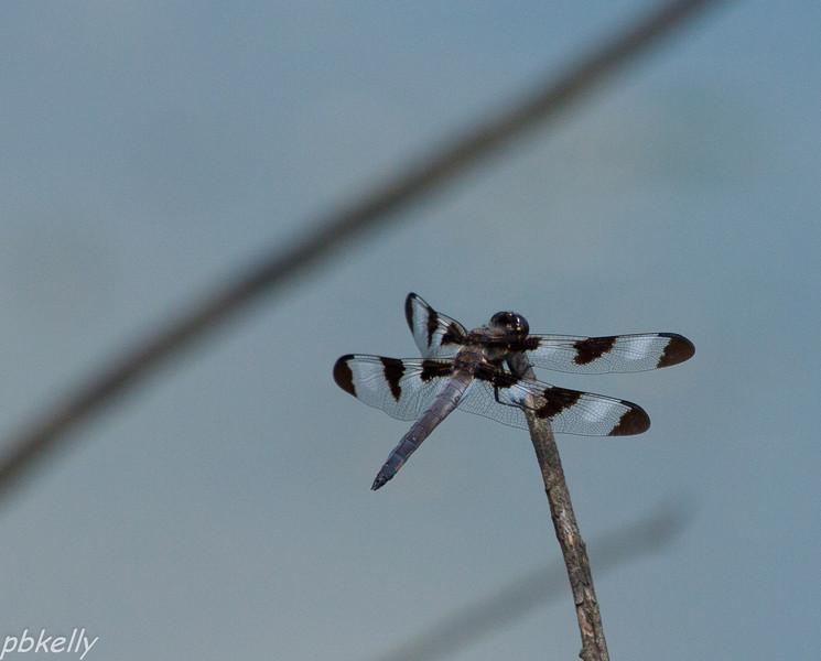 June 13.  Twelve-spotted Skimmer, Libellula pulchella.