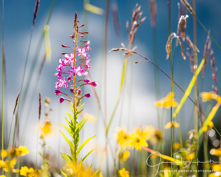 Wildflowers II, Hurricane Ridge, Olympic National Park