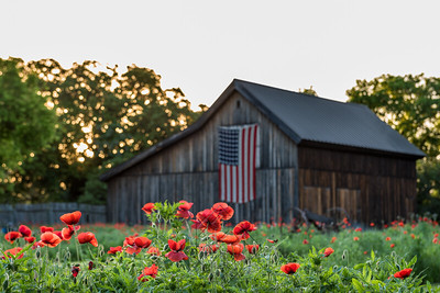 Row of vivid read poppies with barn in the background