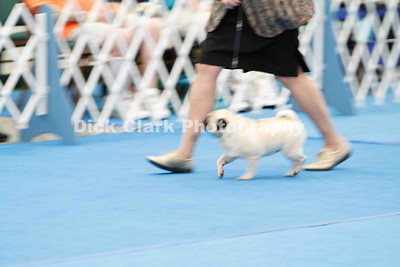 Pug Dog Club of America Saturday Conformation